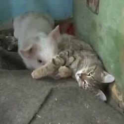 un chat adopte un porcelet