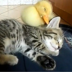 un chaton et un caneton
