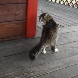 un chat trotte comme un cheval