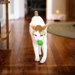 chat rapporte balle comme chien video