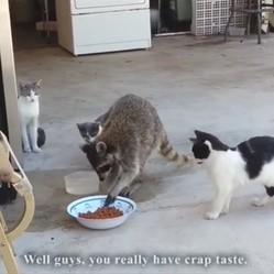 chats ratons laveur faireset