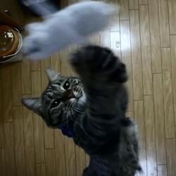 un chat champion de saut en hauteur