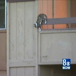chat saute d'un appartement en flamme pour fuir un incendie