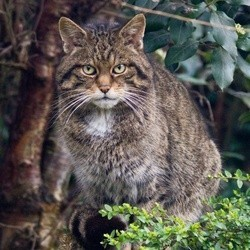 Chat sauvage d'ecosse