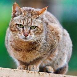 sauver les chats sauvages d'Ecosse par un test génétique