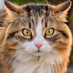 chat sauve femme pitbull