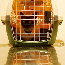 chat sida vétérinaire
