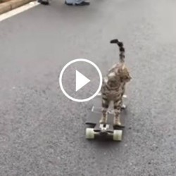 un chat fait du skateboard