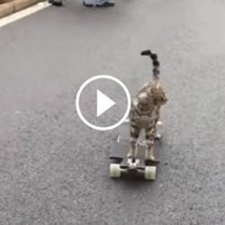 un chat fait du skateboard