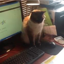 chat souris ordinateur