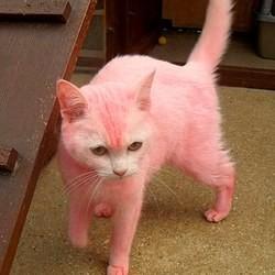 chat teint en rose
