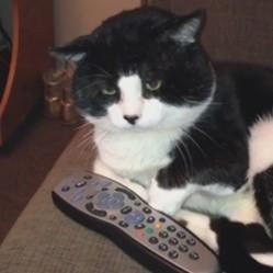 un chat regarde la télé