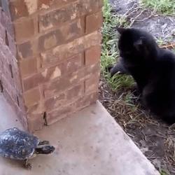 un chat joue avec une tortue
