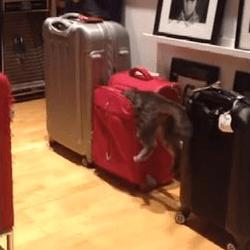 un chat essaie d'entrer dans une valise