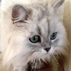 chat persan stressé