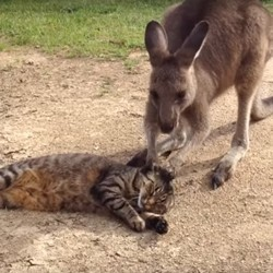 Chat kangourou