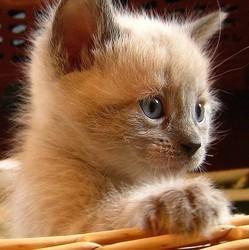 préparer arrivée du chaton accueillir un chaton