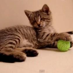 chaton aveugle découvre jouet pour première fois video