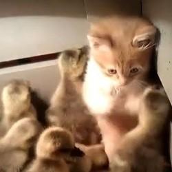 un chaton et des canetons