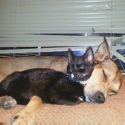 un chaton adopté par des chiennes