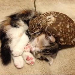 chaton chouette