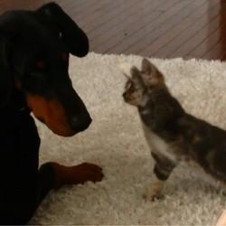 un chaton et un dobermann