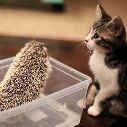 un chaton et un hérisson