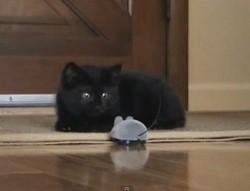 chaton peur souris telecommandee