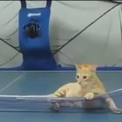 un chaton joue au ping-pong