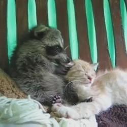 un chaton et un raton lavin se font un câlin