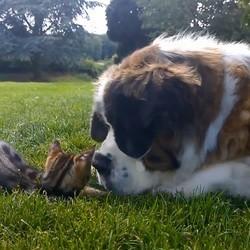 un chatin et un saint bernard