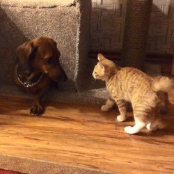 un chaton se bagarre avec un teckel