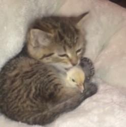 chaton et poussin