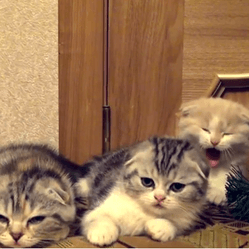 chatons baillement