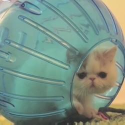 Des chatons jouent avec des boules pour hamster