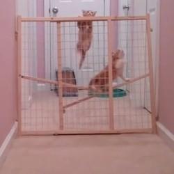 deux chatons grimpent sur une barrière pour s'échapper