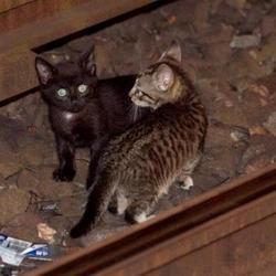 des chatons sur les rails du métro new-yorkais