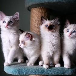 chatons ragdoll