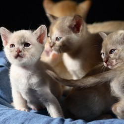 chat saillie extérieure accouplement reproduction