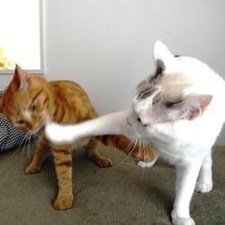 chats boxeurs