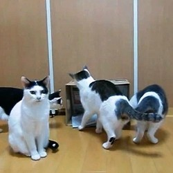 chats coupe du monde