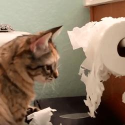 chat papier toilette