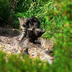 chats sauvages australie
