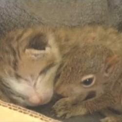 chat adopte bébé écureuil video