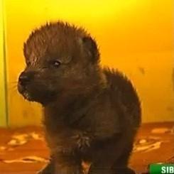 chatte bébé loup video sibérie