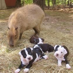 Cheescake capybara