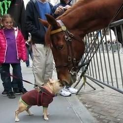 bouledogue français cheval rencontre video