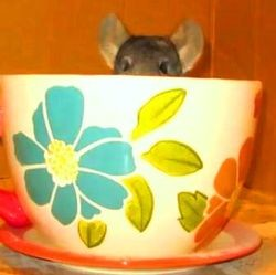 video chinchilla tasse farine