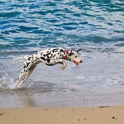 Dalmatien à la plage