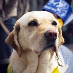 chien écouteur chien d'accompagnement